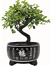 Bonsai Tree - Chinese Elm in Black Ceramic Pot - Tree Height Including Pot 25-35cm