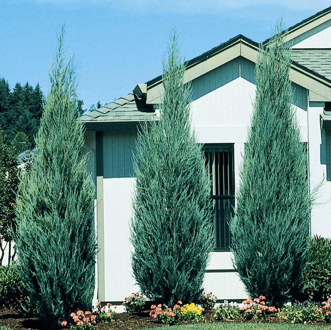 Skyrocket Juniper - 40 Live 2'' Pots - Juniperus Scopulorum - Upright Evergreen Trees by Florida Foliage (Image #4)
