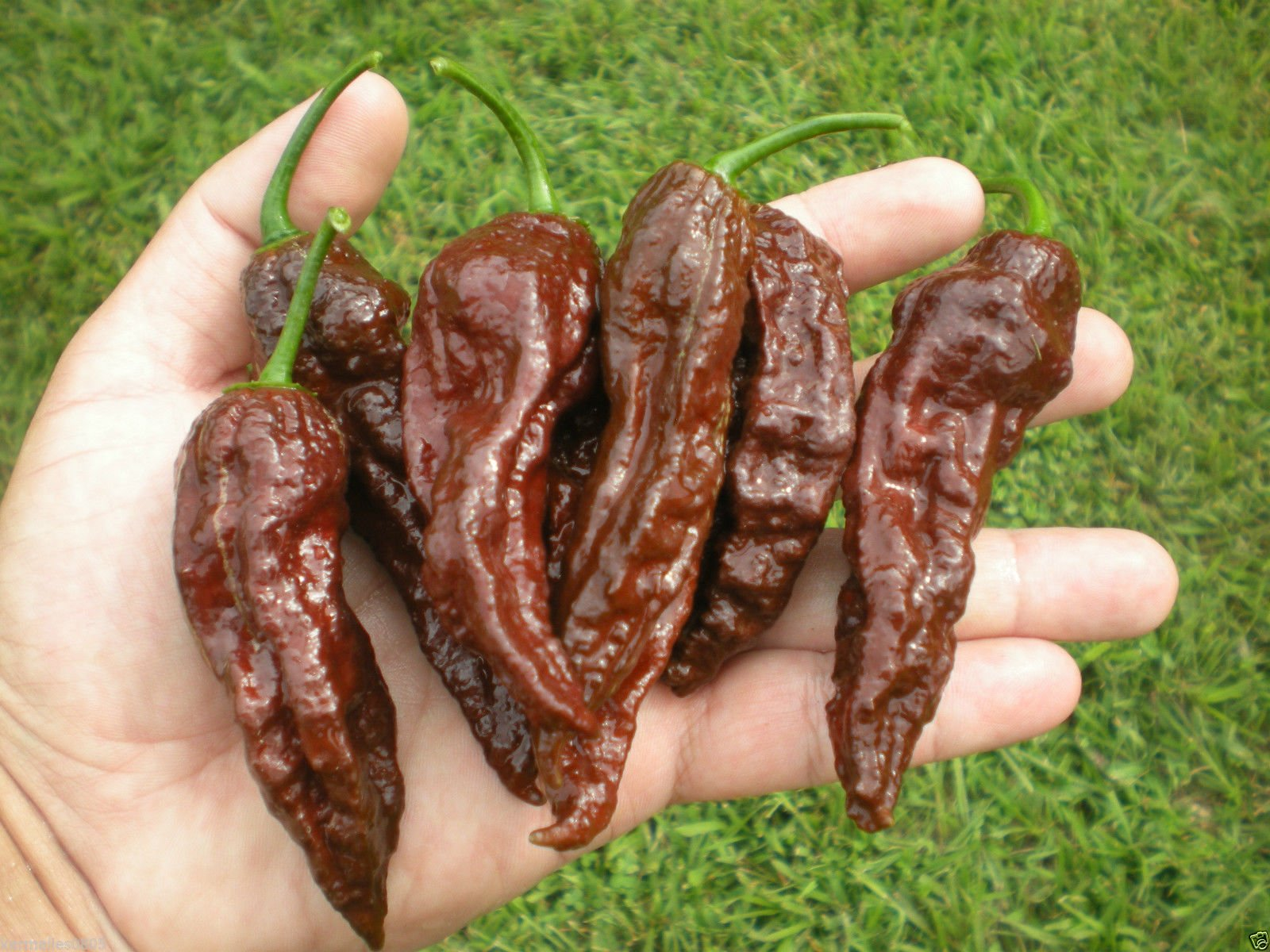 CHOCOLATE BHUT JOLOKIA 1000 SEEDSWHOLESALE