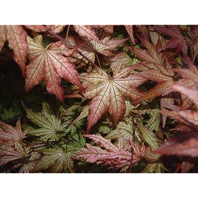 Peaches & Cream Japanese Maple - 1 Year Graft : Maple Trees : Garden & Outdoor
