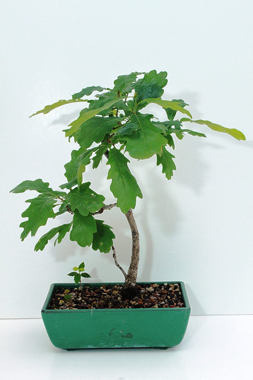 Amazon Com Edamame Bonsai S California Scrub Oak Bonsai Tree Bonsai Plants Grocery Gourmet Food