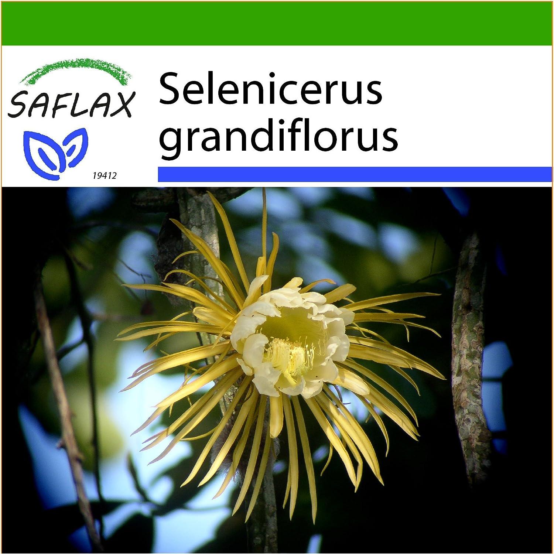 SAFLAX - Reina de las flores - 40 semillas - Con sustrato estéril para cultivo - Selenicerus grandiflorus