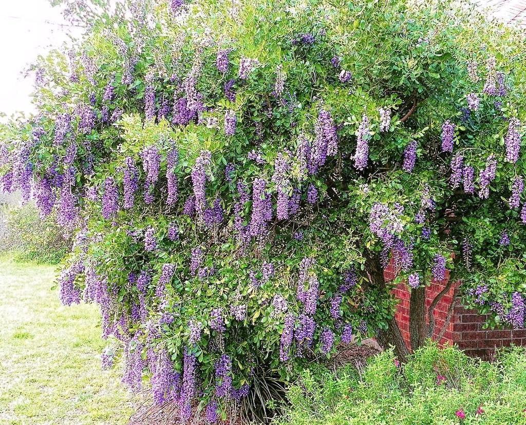 Amazon Com Texas Mountain Laurel Exotic Sophora Secundiflora Rare Mescal Bean Seed 15 Seed Garden Outdoor