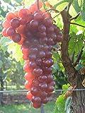 Vitis vinifera Piroschka | aparte rote Weintraube selbstfruchtend veredelt mit Neuaustrieb