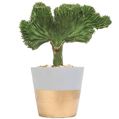 Resultado de imagen de Coral Cactus