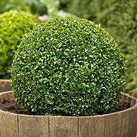 25 Semillas de Buxus Sempervirens (Boj)