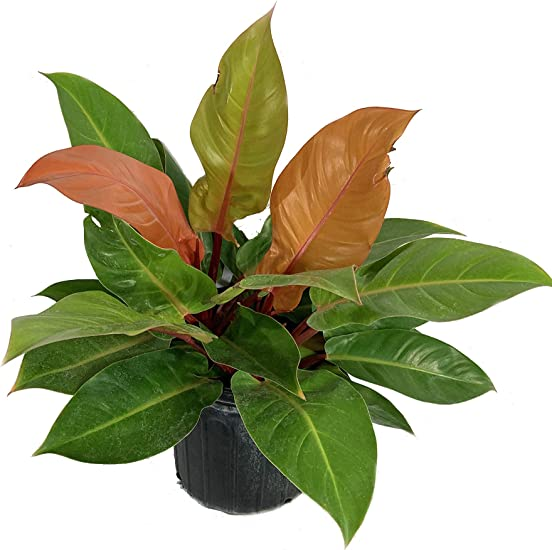 Amazon Com Philodendron Prince Of Orange Live Plant In A 10 Inch Growers Pot Philodendron Prince Of Orange Beautiful Indoor Outdoor Air Purifying Houseplant Garden Outdoor