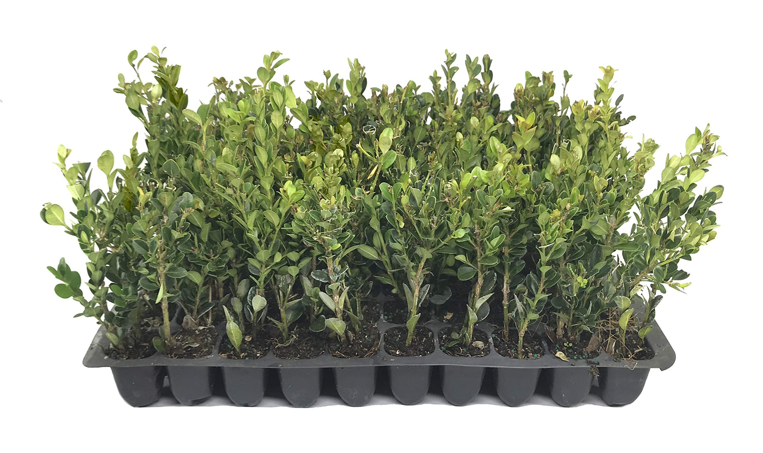 Winter Gem Boxwood - 10 Live Plants - 2'' Pot Size - Buxus Microphylla Japonica - Fast Growing Cold Hardy Formal Evergreen Shrub by Florida Foliage