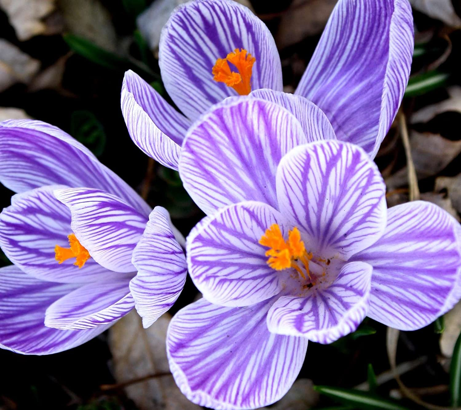 20 Striped Beauty Crocus Bulbs -Spring Bulbs- Plant with Snowdrop-Daffodil-IRIS-ERANTHIS-BEE Friendly JULIA'S GARDEN