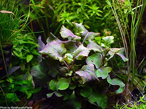 Amazoncom Water Plants Lobelia Cardinalis Wavy 3x Bunch Live