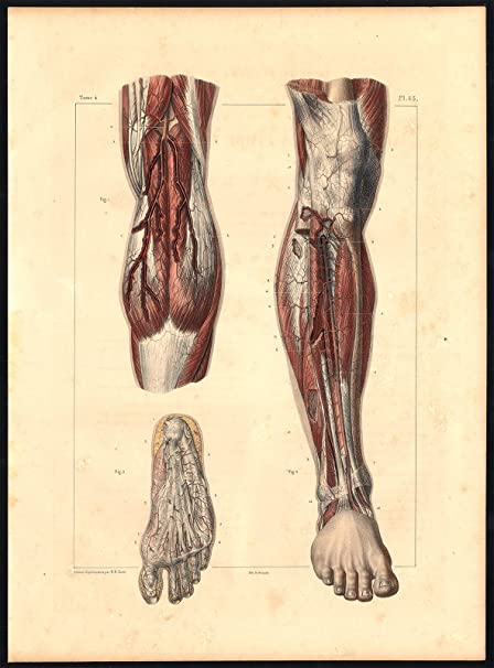 Amazon Original Anatomy Print Artery Leg Foot Pl 45 Bourgery