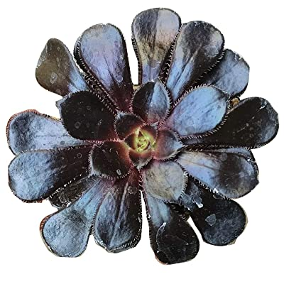"Black Rose Aeonium Arboreum Zwartkop Succulent (4"" + Clay Pot) : Garden & Outdoor"