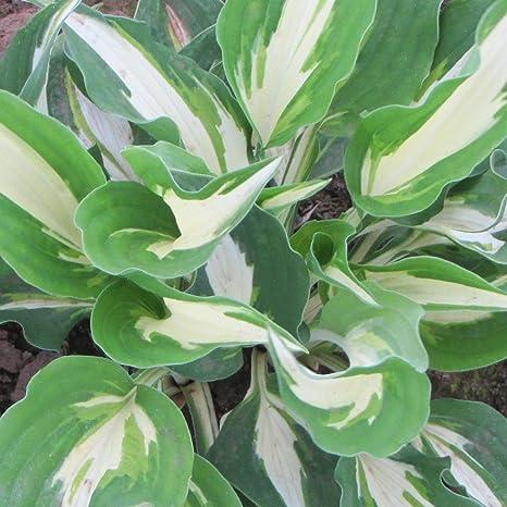 Amazon hosta blue angel roots full sun part shade hosta blue angel roots full sun part shade perennial flowers mightylinksfo