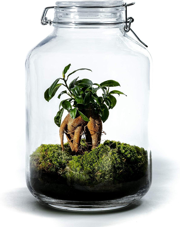DIY Jardín en Botellas Sostenible de Botanicly: Jar Gran – Ficus ginseng (Altura: ca. 30 cm, Anchura: ca. 17 cm)