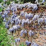 Glycine sinensis Pluie Bleutée - 1 arbrisseau