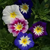 Outsidepride Morning Glory Ensign Mix - 1000 Seeds