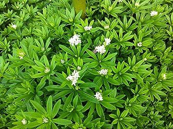 Amazoncom Sweet Woodruff Plant GaliumHerbGroundcover 48