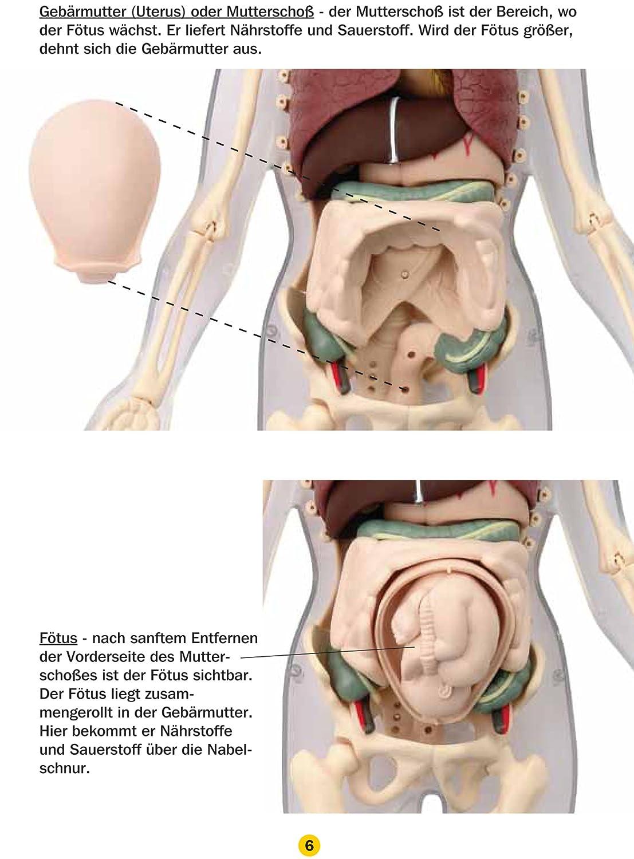 Großzügig Schwein Gebärmutter Anatomie Galerie - Anatomie Von ...