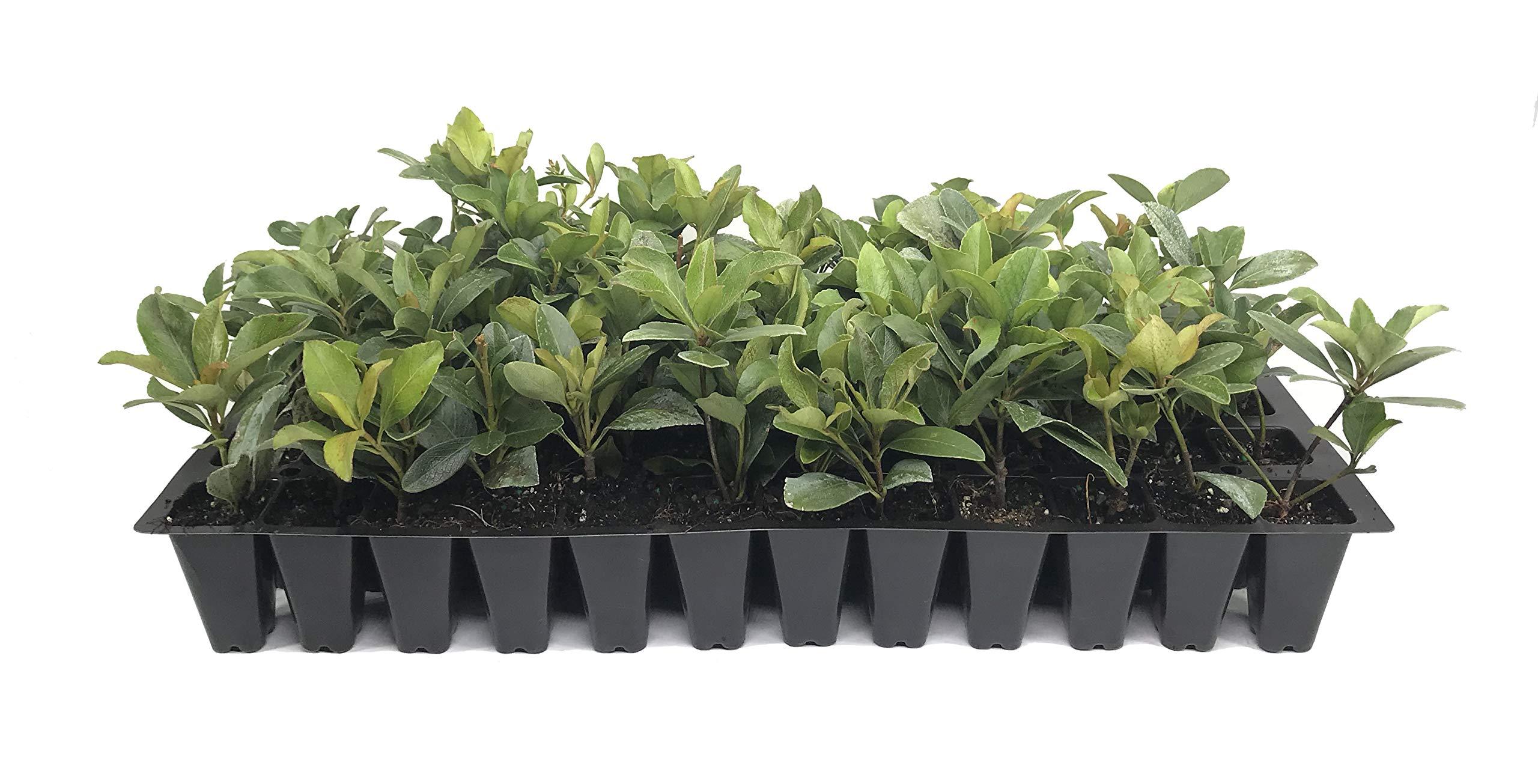 Indian Hawthorn Alba Qty 20 Live Plants Evergreen Shrub by Florida Foliage