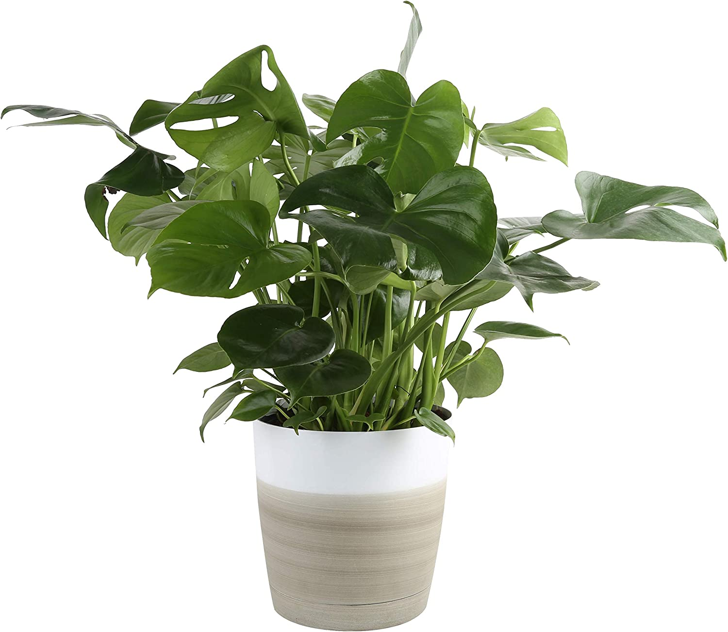 Amazon Com Costa Farms Split Leaf Philodendron Monstera Deliciosa Live Indoor Plant 2 To 3 Feet Tall Ships With Décor Planter Fresh From Our Farm Excellent Gift Or Home Décor Garden Outdoor
