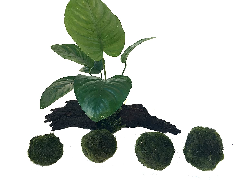 manplan Mini tronco de Anubias de 10 a 12cm y 4 Cladophoras de 3 a 4cm. Plantas acuario naturales: Amazon.es: Productos para mascotas