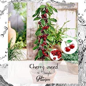 HAVIPRO - Sweet Cherry Seeds - 20 Shrub Prunus Cerasus Tree Seed - Big Fruit - Non GMO - DIY Bonsai Home Garden Yard Decor Seed (Black Cherry)