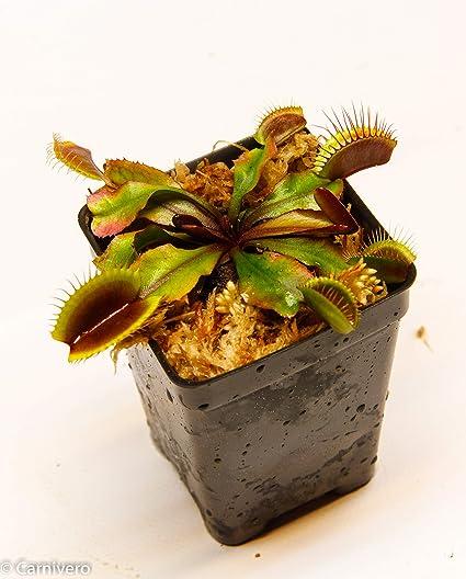 Dionaea muscipula Venus Flytrap /'B52/' Carnivorous Plant RARE!