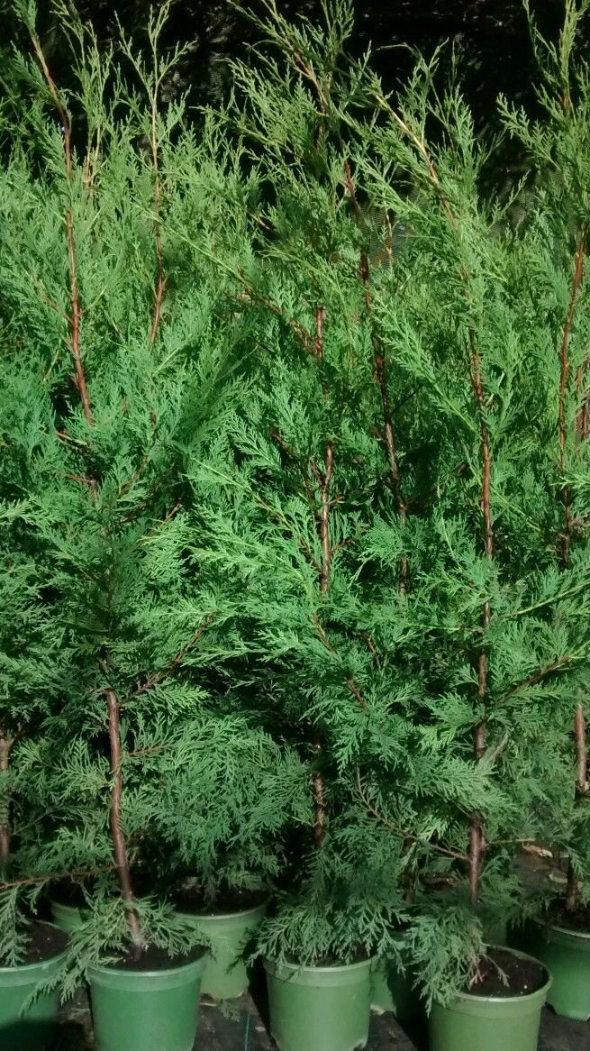 LOT OF 10 GREEN LEYLANDII HEDGING GREEN CONIFER APPROX 3-4 FOOT TALL