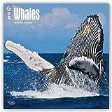 Whales - Wale 2018 - 18-Monatskalender: Original BrownTrout-Kalender [Mehrsprachig] [Kalender] (Wall-Kalender)