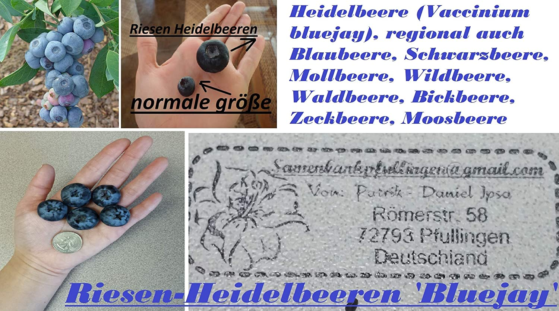 15x Riesen Heidelbeere Vaccinium bluejay Samen Pflanze Beeren Obst #284