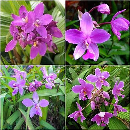 Amazon Com Spathoglottis Ground Orchids Purple Passion One