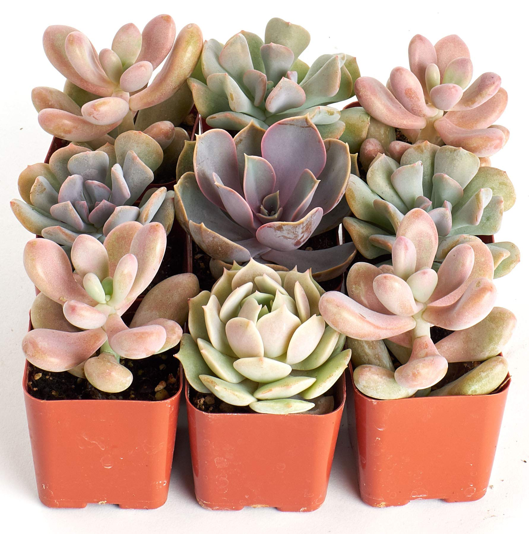 Shop Succulents | It's A Girl Pink Live Plants, Hand Selected Variety Pack of Mini Succulents | | Collection of 9 in 2'' pots, 9
