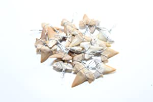 """20 Piece Lot of Large 3/4""""+ Grade 'A' Unbroken Shark Teeth Carcharocles Megalodon Great Resale Opportunity Spring Fair, County Fair, Retail Shops-Wire Wrapped-"""