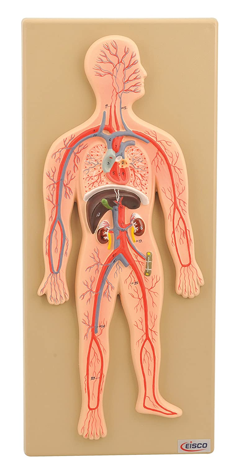 Amazon Eisco Human Circulatory System Model Hand Painted