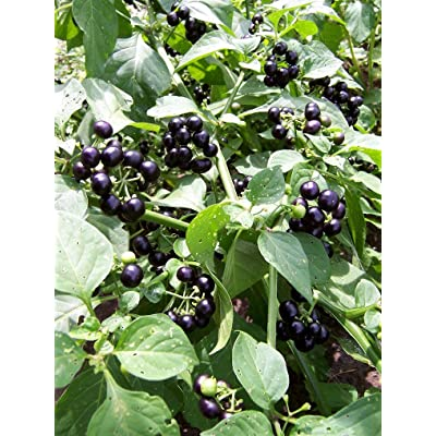 -Bulk- GARDEN HUCKLEBERRY BUSH 'Great for Gems, Jelly & Pies' 350+Annual Seeds: Toys & Games