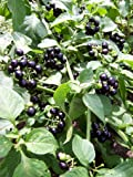 -Bulk- GARDEN HUCKLEBERRY BUSH 'Great for Gems, Jelly & Pies' 350+Annual Seeds