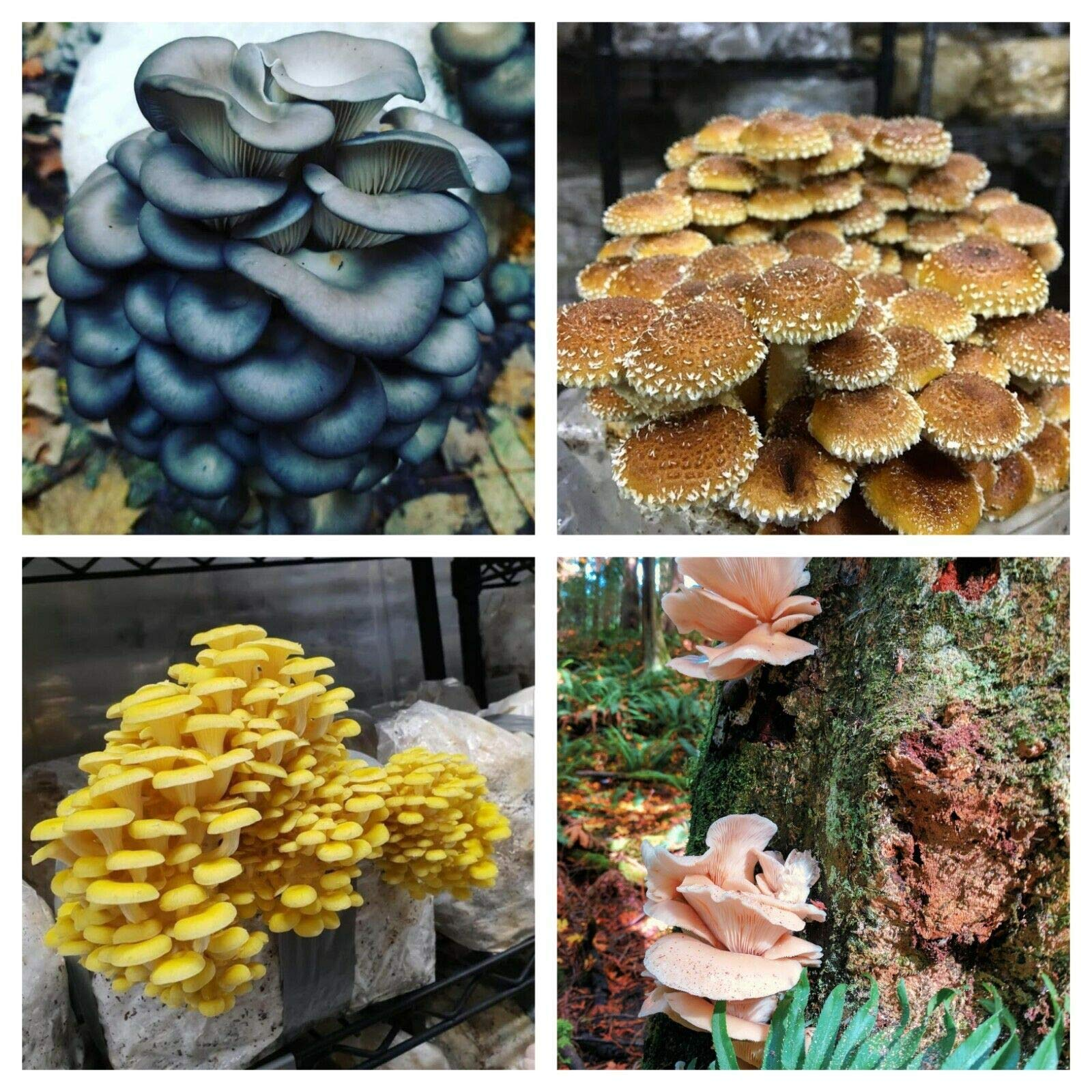 Super Pack- 4 Types of Mushroom Spawn; US Seller; Excellent Quality (4 OZ of Each Mushrooms) Blue Oyster, Chestnut, Golden Oyster, and Pink Oyster by Naturegreen_Park