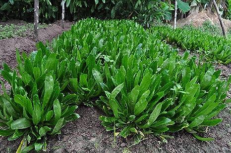 Amazon.com: Perejil (2500 semillas) Calidad de las semillas ...