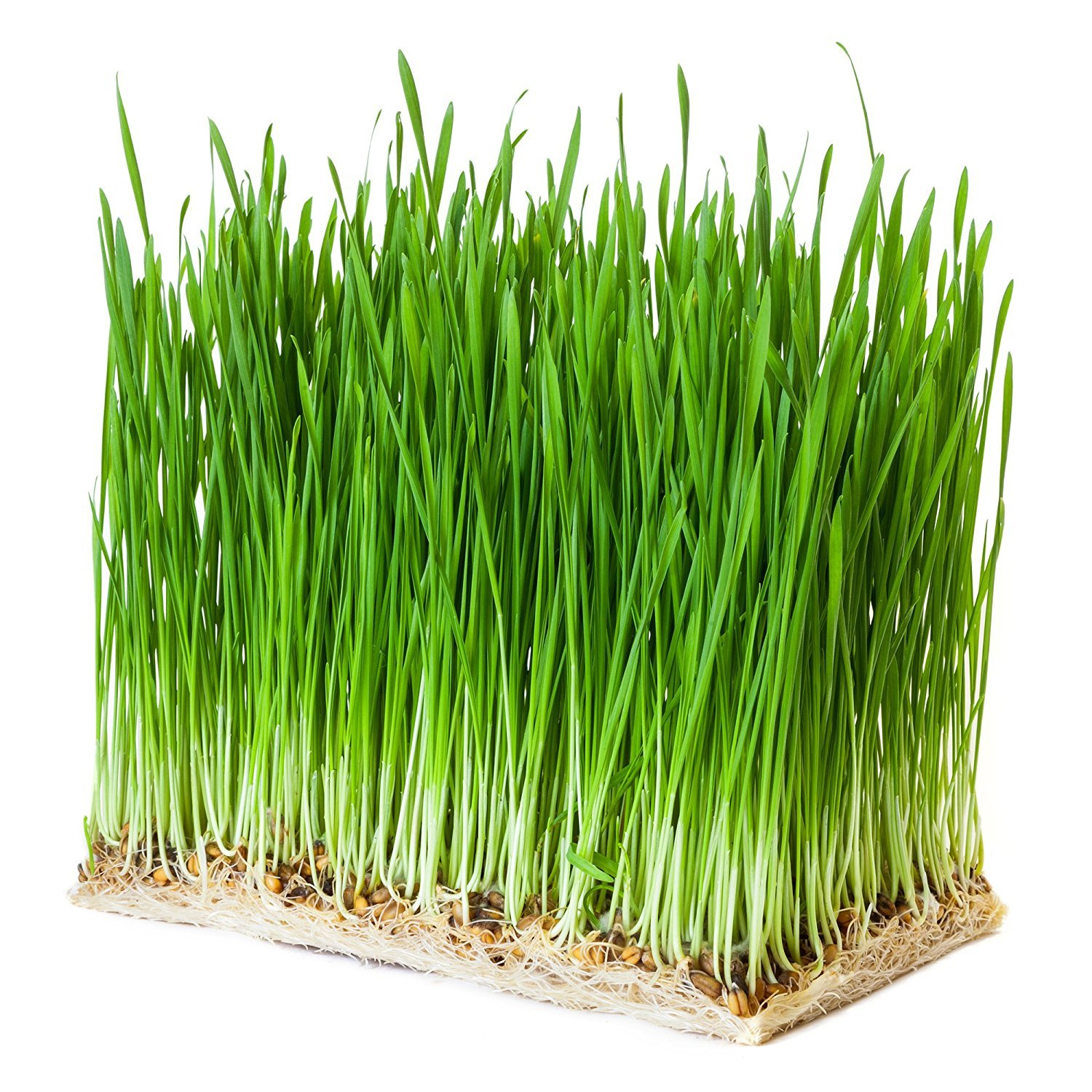 Potomac Banks Cat Grass, Organic Oat, 2.5 pound (Comes with Free How to Live Stress Free Ebook)