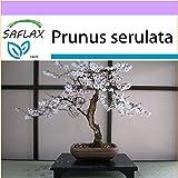 SAFLAX - Ciliegio del Giappone / Sakura - 30 semi- Bonsai all'aperto - Prunus serulata
