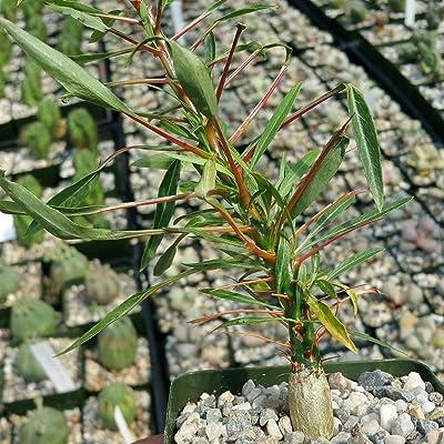 Fouquieria purpusii Cactus Cacti Succulent Real Live Plant : Garden & Outdoor