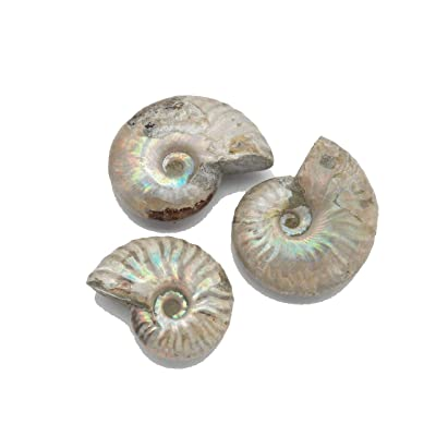 "Fundamental Rockhound Products: One (1) Whole Polished Irridescent Ammonite Fossil Mineral Specimen from Madagascar (1""): Home & Kitchen"