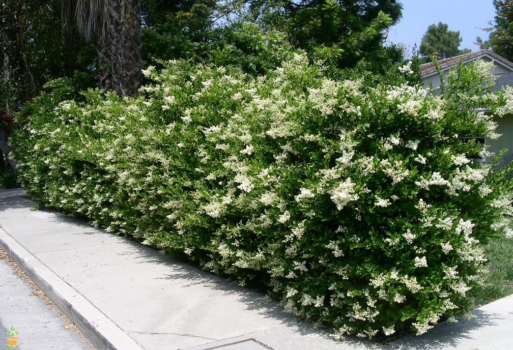 Ligustrum Waxleaf Privet Qty 60 Live Plants Evergreen Privacy Hedge