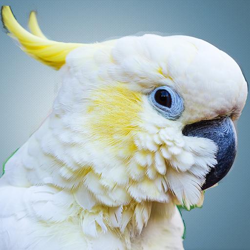 Cockatoo Sounds - Cockatoo Bird Sounds - Bird sounds