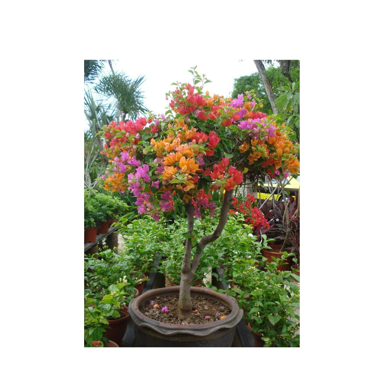 Living Garden 50 Mixed Color Bougainvillea Seeds Spectabilis Wild ...