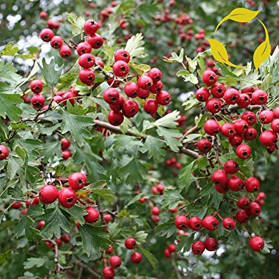 20 Seeds English ONESEED Hawthorn Crataegus Monogyna : Garden & Outdoor