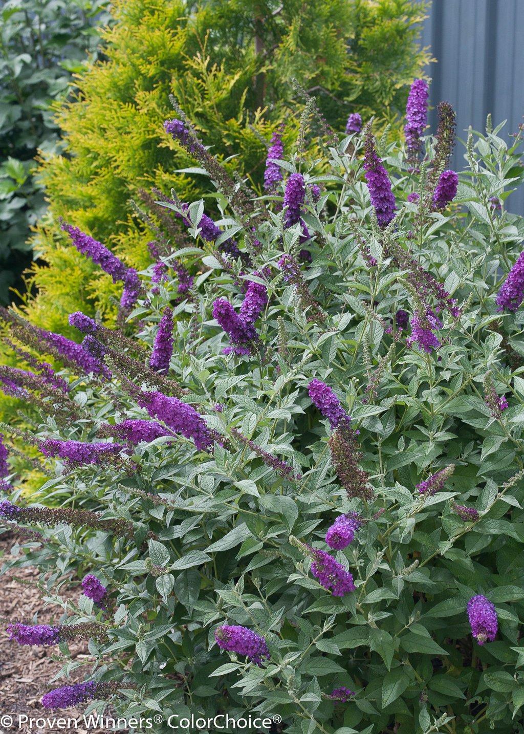 Purple Flowers,/4.5 in./Quart Live Shrub Miss Violet Butterfly Bush Buddleia