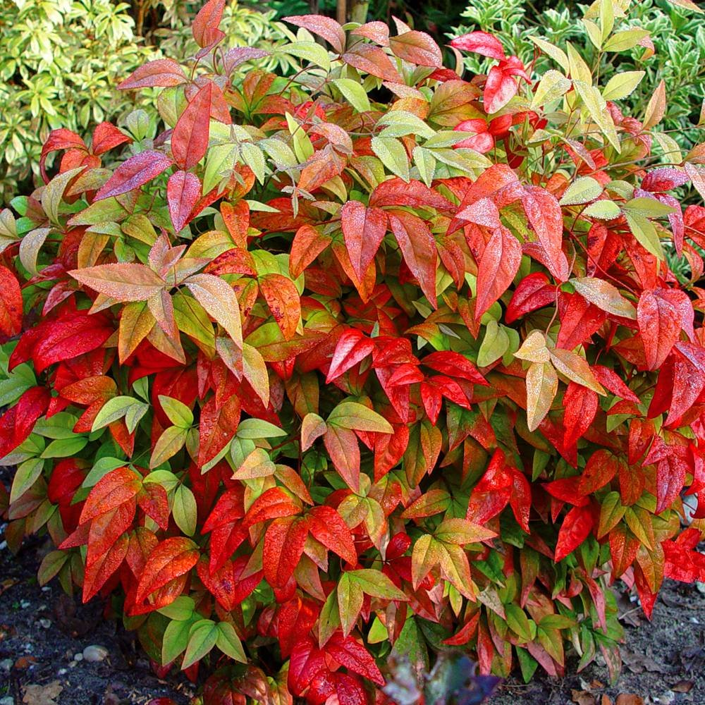Nandina domestica - 1 shrub Gardens4you