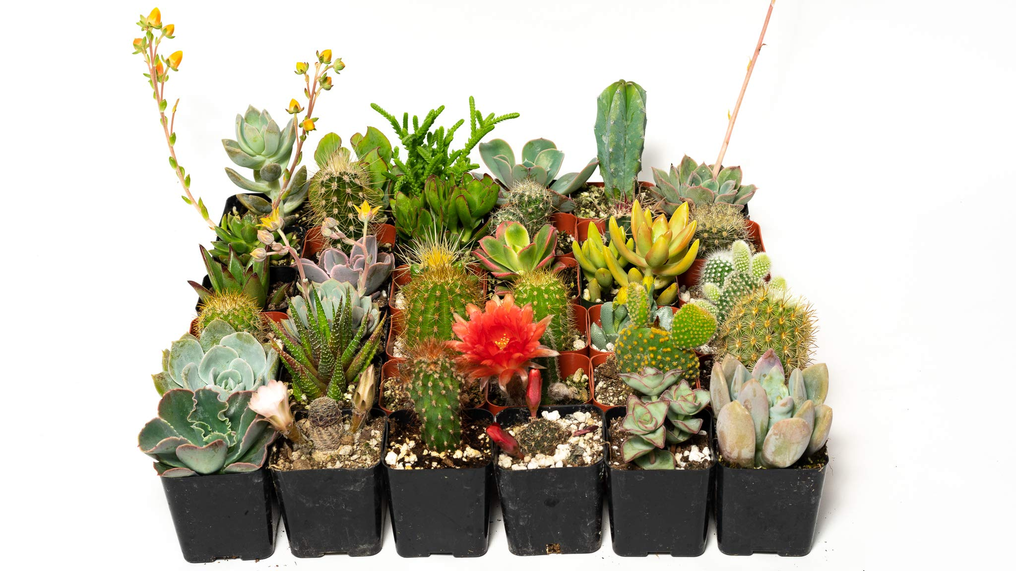 36 Succulent & Cactus Variety Pack- No Two Plants are Alike, Make Your Garden Unique with A Beautiful Collection of Succulents and Cacti - by Jiimz by Jiimz (Image #2)