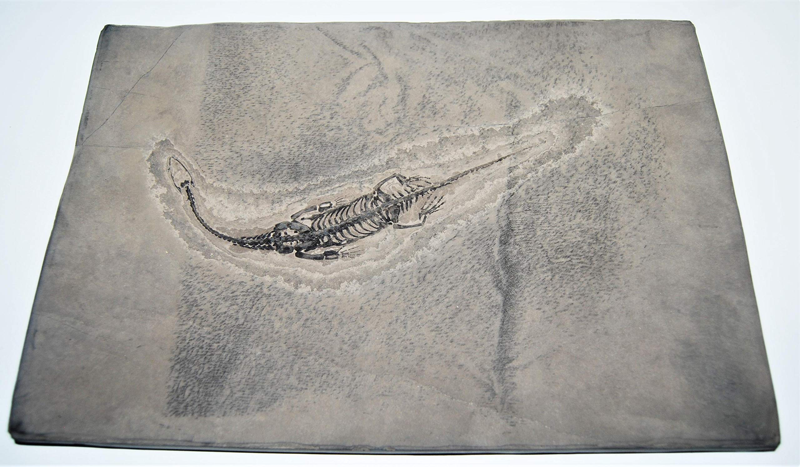 Keichousaurus Hui Dinosaur Unique and Amazing Fossil Rare #14313 83o by Fossils, Meteorites, & More (Image #4)